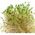 Semințe pentru germinare