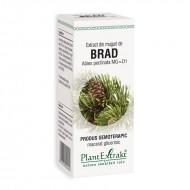 Extract din muguri de brad - Abies Pectinata (50 ml), Plantextrakt